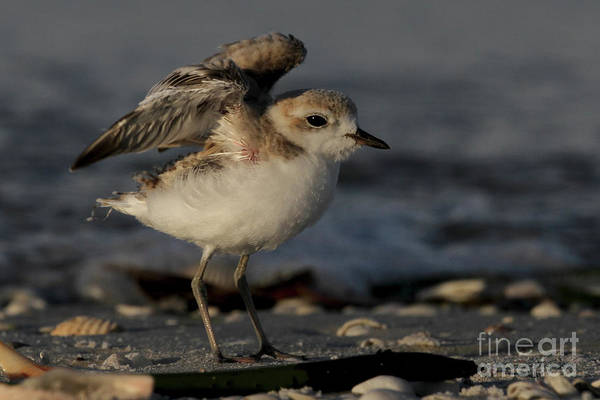 Photograph - Snowy Plover Wingersizing by Meg Rousher