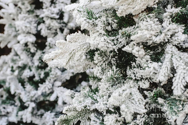 Photograph - Snowy Spruce Branches With Fake Snow To Decorate House In Winter. by Joaquin Corbalan