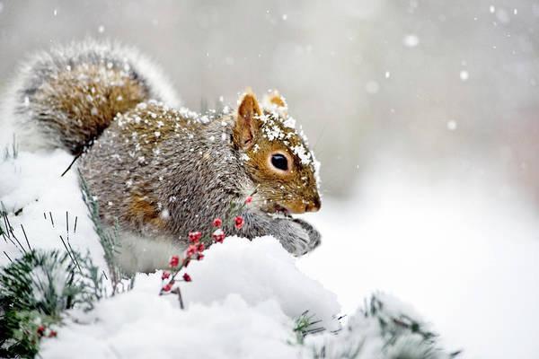 Photograph - Snowy Squirrel by Christina Rollo