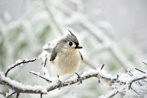 Titmouse Painting - Snowy Tufted Titmouse by Christina Rollo