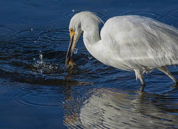 Photograph - Snowy White Egret 1 by Rick Mosher