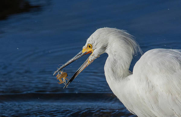 Photograph - Snowy White Egret 2 by Rick Mosher