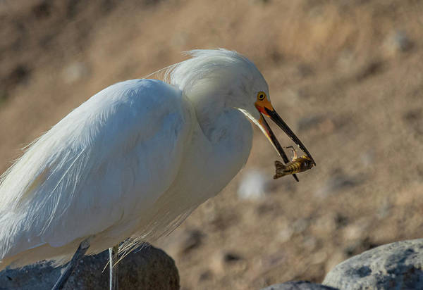 Photograph - Snowy White Egret 3 by Rick Mosher