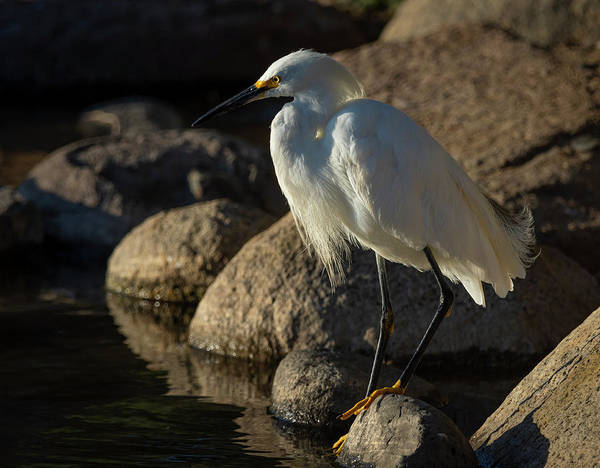 Photograph - Snowy White Egret 4 by Rick Mosher
