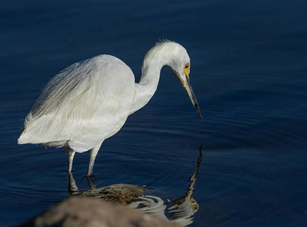 Photograph - Snowy White Egret 6 by Rick Mosher