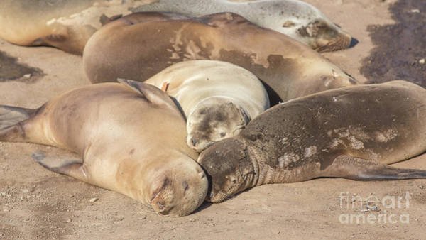 Wall Art - Photograph - Snuggle Time California Sea Lions Basking In The Sun by Edward Fielding