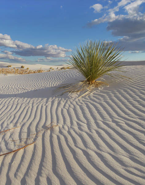 Photograph - Soaptree Yucca, White Sands Nm, New by