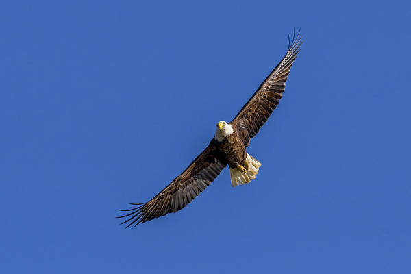 Photograph - Soaring Eagle by Lori Coleman