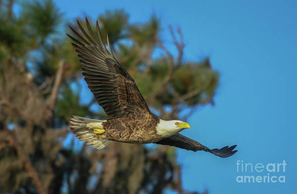 Photograph - Soaring Eagle by Tom Claud