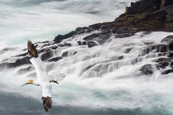Photograph - Soaring Gannet by Arterra Picture Library