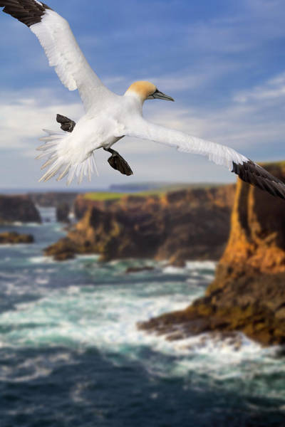 Photograph - Soaring Gannet In Scotland by Arterra Picture Library