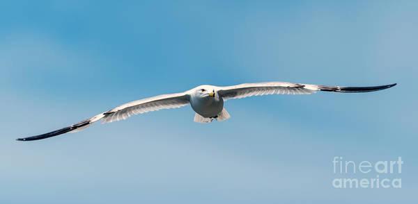 Photograph - Soaring Gull by Matthew Nelson
