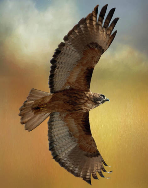 Photograph - Soaring Hawk by Gloria Anderson
