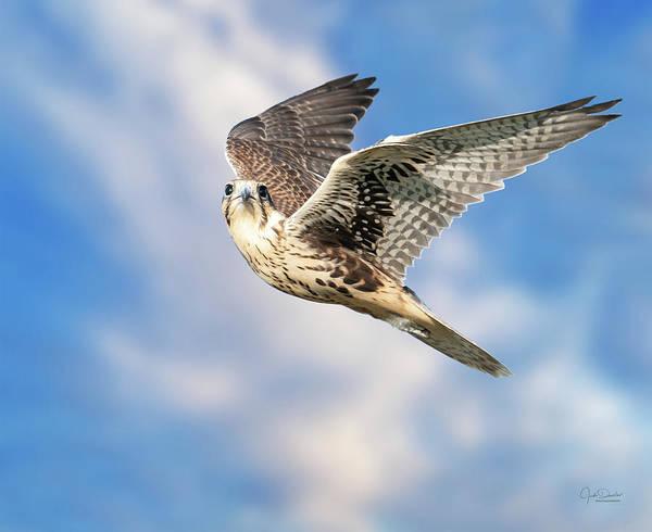 Photograph - Soaring Prairie Falcon by Judi Dressler