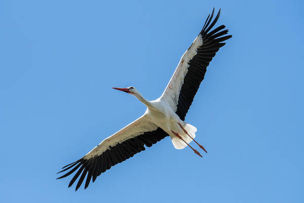 Photograph - Soaring White Stork by Arterra Picture Library