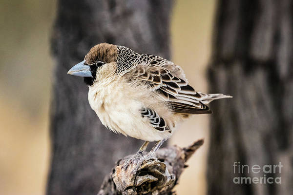 Photograph - Sociable Weaver, Etosha, Namibia by Lyl Dil Creations