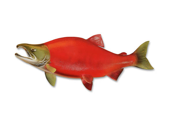 Fish Photograph - Sockeye Salmon With Clipping Path by Georgepeters
