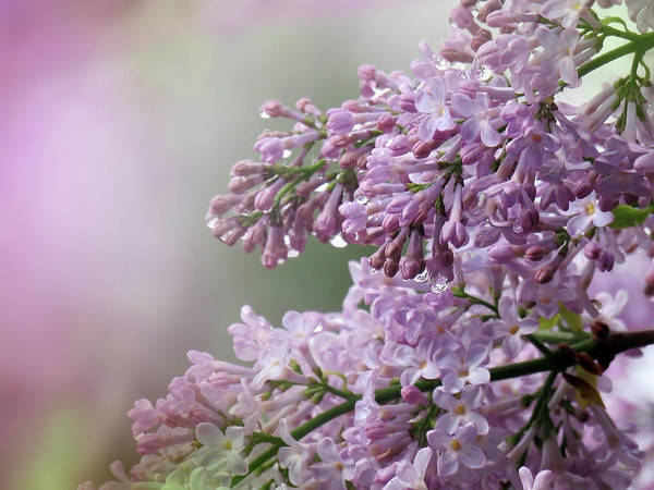Photograph - Soft And Colorful Syringa Photoart by Johanna Hurmerinta