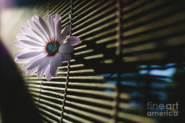 Photograph - Soft And Pink Daisies Against Backlight On A Wooden Background. by Joaquin Corbalan