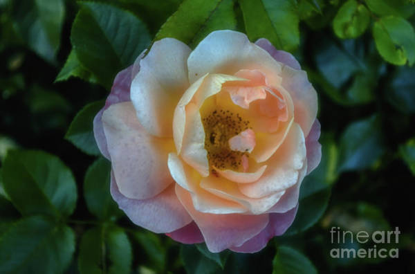 Wall Art - Photograph - Soft Beauty by Michelle Meenawong