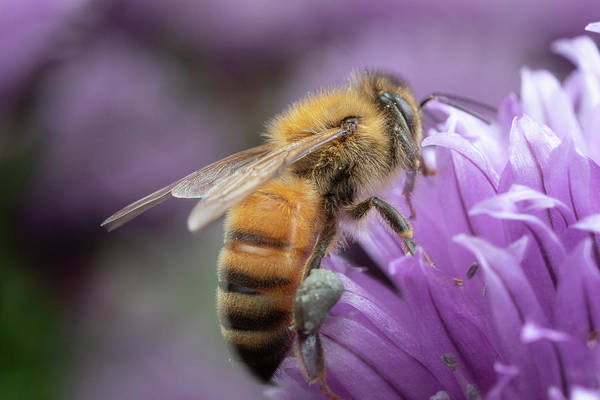 Photograph - Soft Bee by Brian Hale