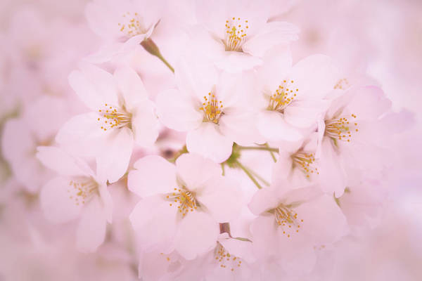 Photograph - Soft Cherry Blossoms by Todd Henson