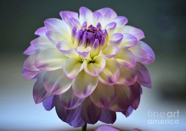 Photograph - Soft Focus Dahlia by Patti Whitten