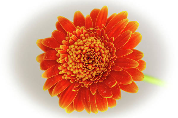 Photograph - Soft Large Orange Gerber Daisy by Jennifer Wick