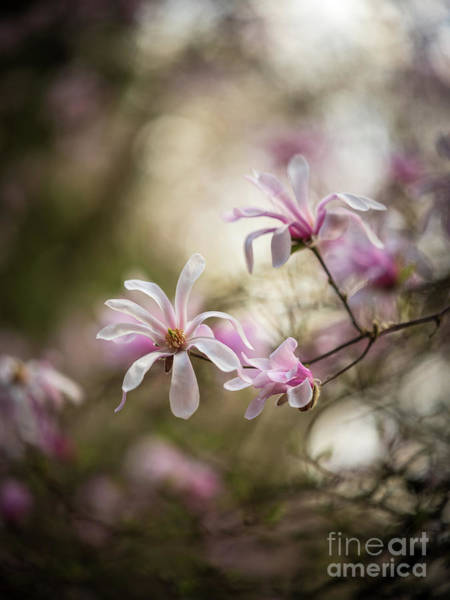 Wall Art - Photograph - Soft Magnolia Blooms by Mike Reid