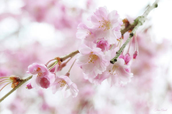 Photograph - Soft Pink Cherry Blossoms by Trina Ansel