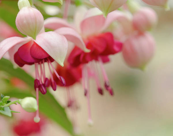 Wall Art - Photograph - Soft Pink Fuchsia  by Iris Richardson