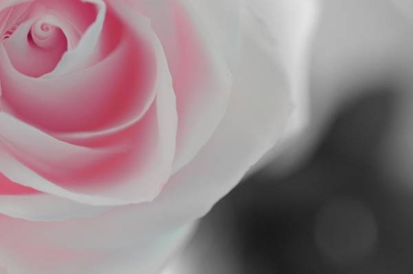 Photograph - Soft Pink Rose by Marianna Mills