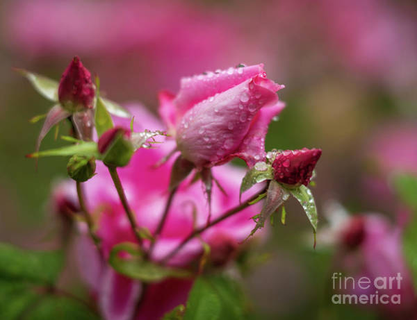 Wall Art - Photograph - Soft Pink Roses Waterdrops by Mike Reid