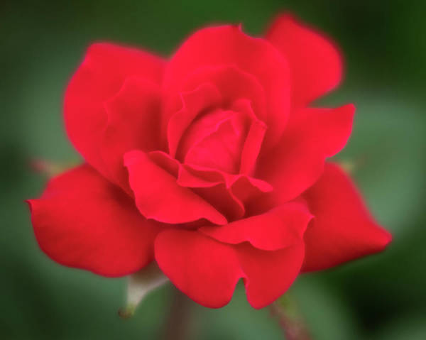 Photograph - Soft Red Rose by Todd Henson