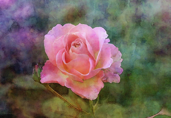 Photograph - Soft Rose 5532 Idp_2 by Steven Ward