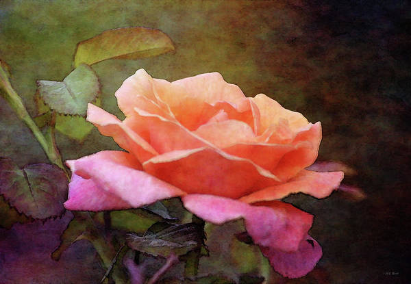 Photograph - Soft Rose 5564 Idp_2 by Steven Ward