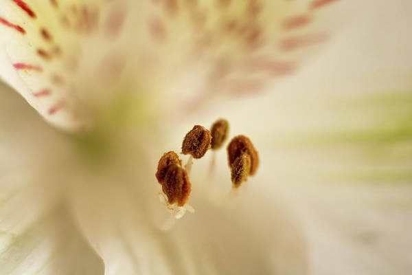 Photograph - Soft Stamens by Jennifer Wick