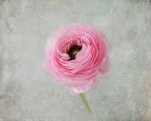 Photograph - Softly In Pink by Kim Hojnacki