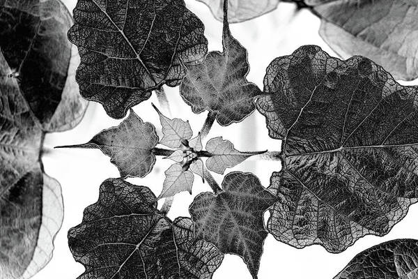 Photograph - Solar Leaf Pattern by Cate Franklyn
