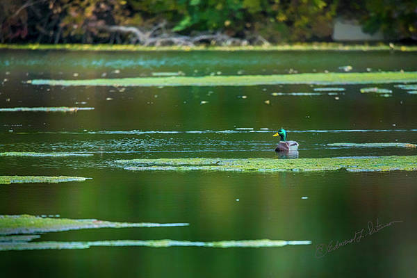 Photograph - Solitary Mallard Drake by Edward Peterson