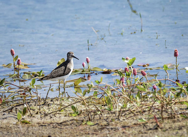 Photograph - Solitary Sandpiper by Michael Chatt