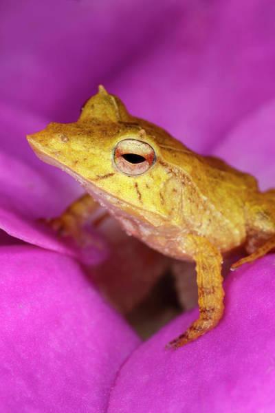 Wall Art - Photograph - Solomon Island Leaf Frog, Native by Adam Jones