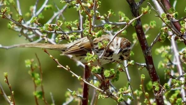 Photograph - Song Sparrow 2 by Dan Miller