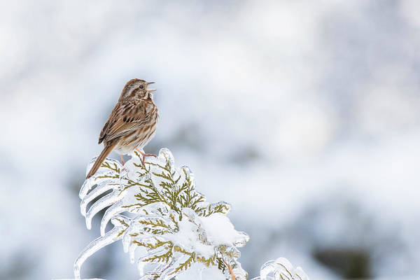 Wall Art - Photograph - Song Sparrow And Freezing Rain by Mircea Costina Photography