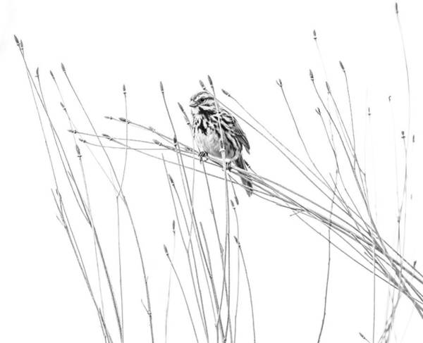 Photograph - Song Sparrow Black And White by Dan Sproul
