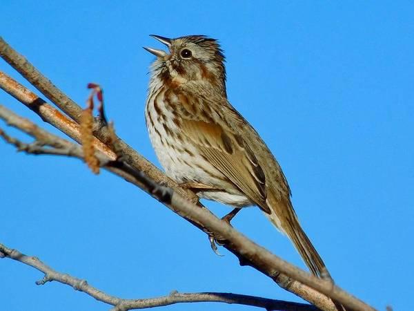 Photograph - Song Sparrow by Dan Miller