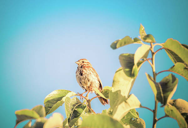 Wall Art - Photograph - Song Sparrow In Summer by Dan Sproul