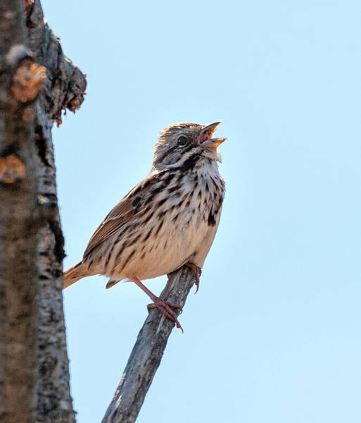 Photograph - Song Sparrow Singing by Lara Ellis