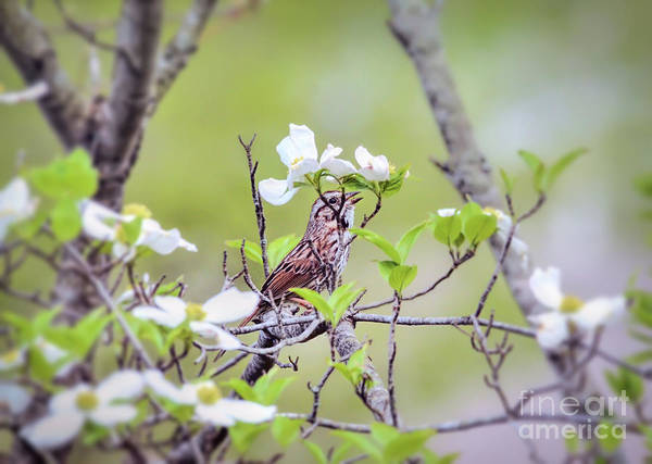 Photograph - Song Sparrow Sings In The Dogwood by Kerri Farley