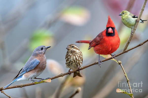 Wall Art - Photograph - Songbird Beauties On A Branch by Bonnie Barry